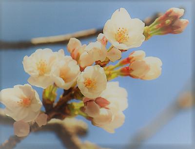 桜のつぼみ2017.png
